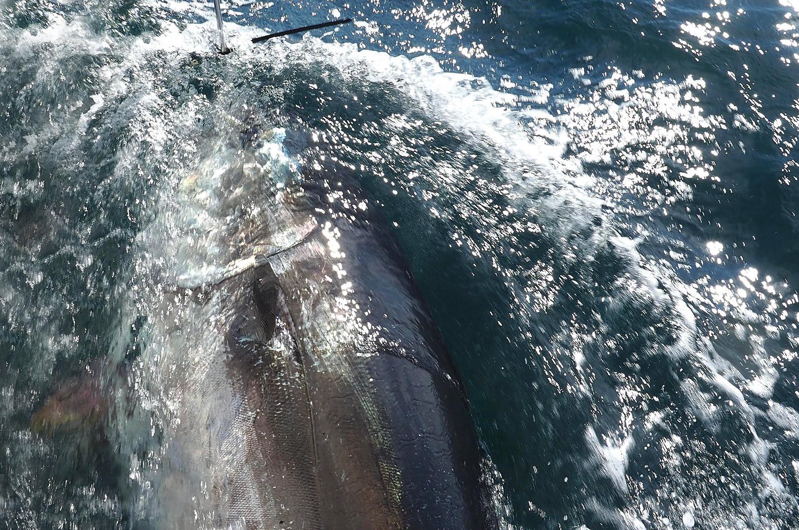 Dødeligheden på C & R fiskeriet efter tun i Skagerrak er ifølge forskerne kun cirka 3 %. Til sammenligning er dødeligheden på C & R efter gedder 7 % og ved fiskerie efter laksefisk cirka 14 %.