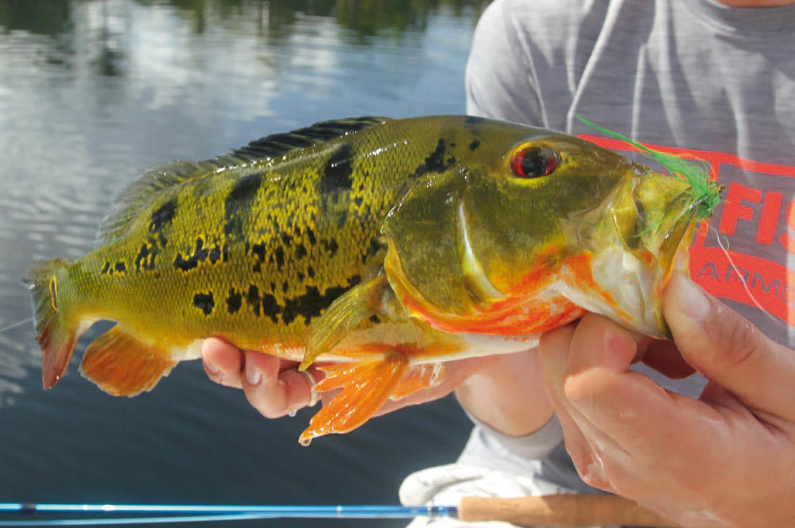 Fiskene er ren farvesymfoni – og måske én af de flotteste sportsfisk, der findes.