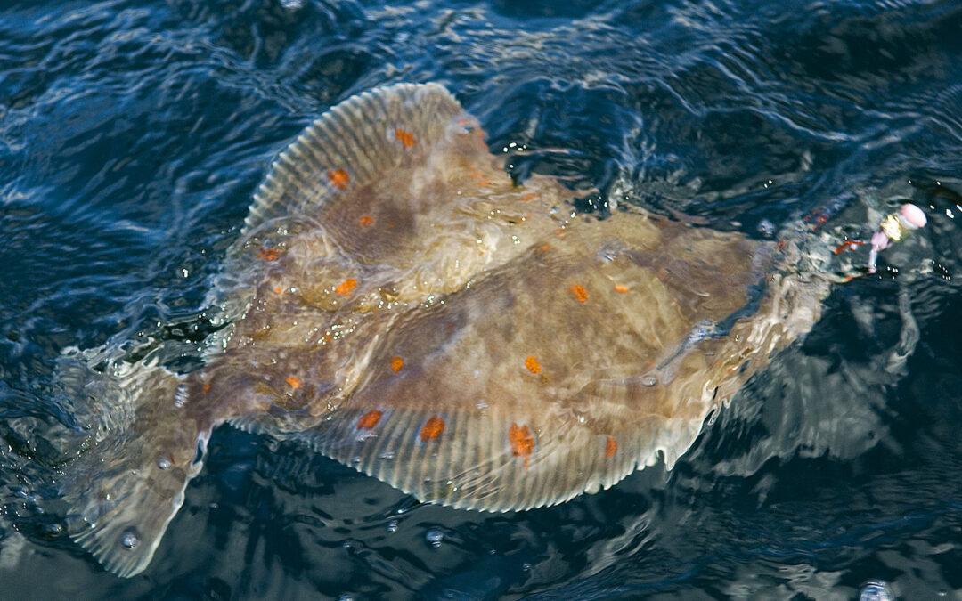 Fladfiskeri er sjovt. Her er den en flot rødspætte, der kommer til overfladen.