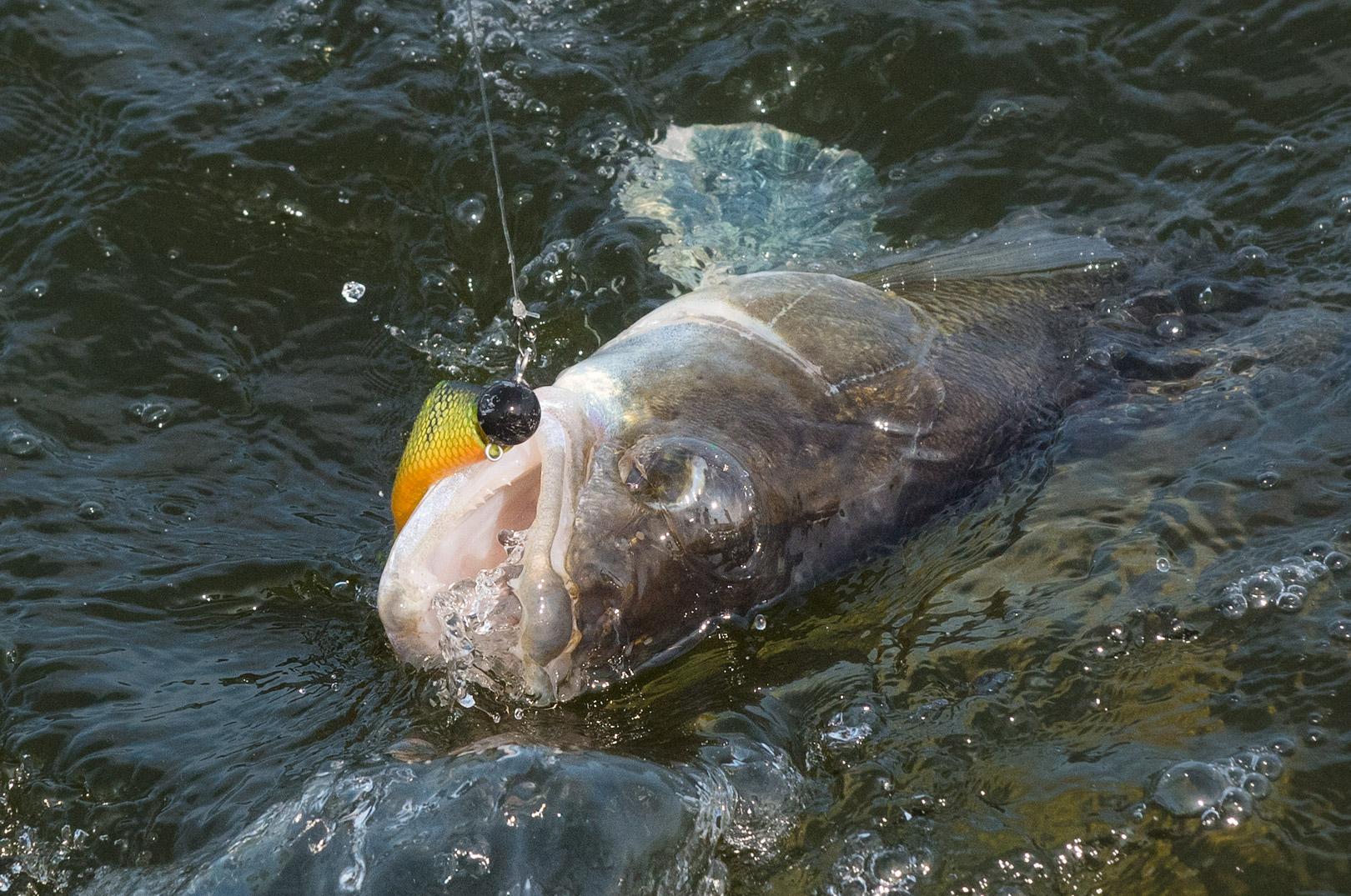 Som det ser ud lige nu er sandartbestanden på Arresø i stor fare for at blive nedfisket igen - inden erhvervsfiskerkoncessionen udløber ved udgangen af 2021.