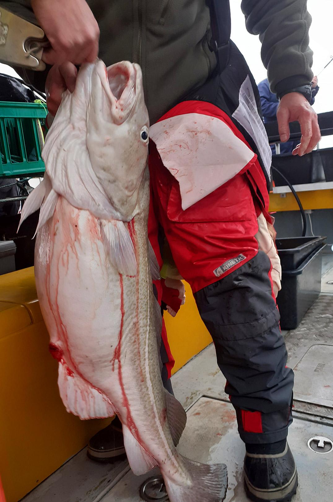 Peter Mejers flotte 20 kilso torsk taget fra Seahawk.