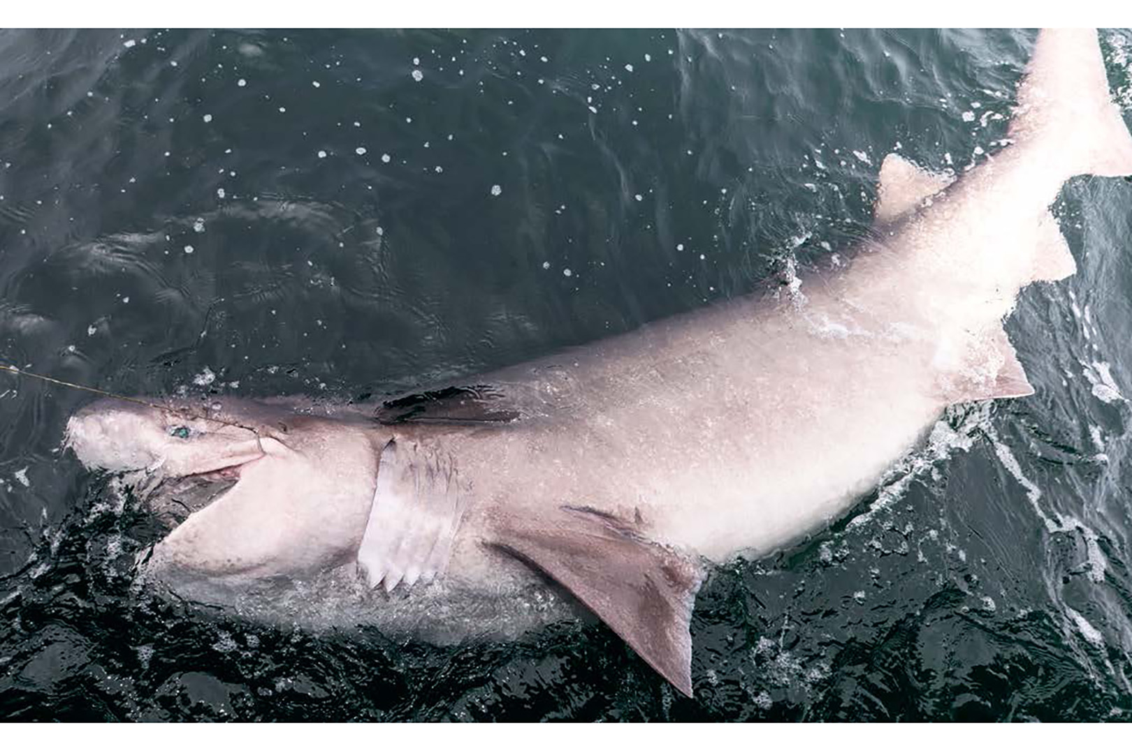 Den seksgællede haj minder lidt om grønlandshajen. Den er i hvert fald lige så tung at hive op.