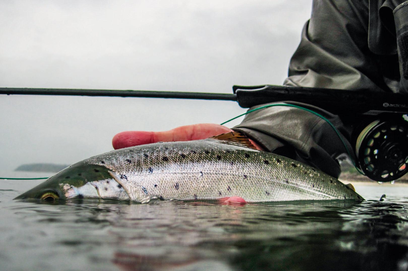 Rune Westphal gør klar til at genudsætte endnu en flot, sølvblank havørred. Han fisker ofte i spritklart vand, og her har hans utroligt livagtige imitationsfluer ofte en udslagsgivende fordel.