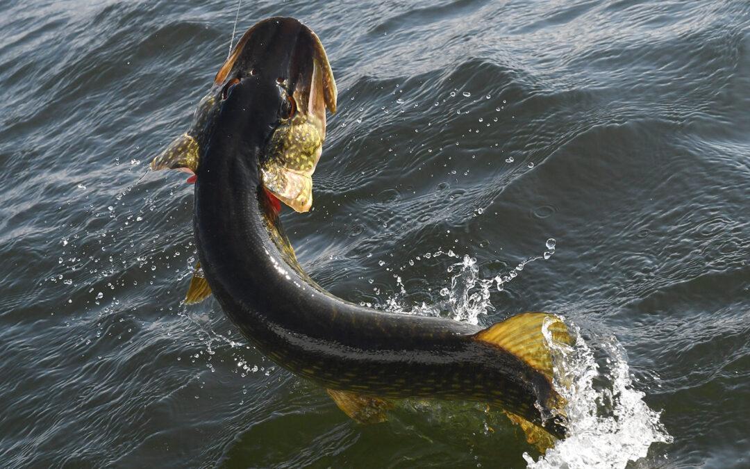 I en ny video på fiskepleje.dk kan du se hvordan du kan bidrage med forskningsdata om brakgandsgedderne.