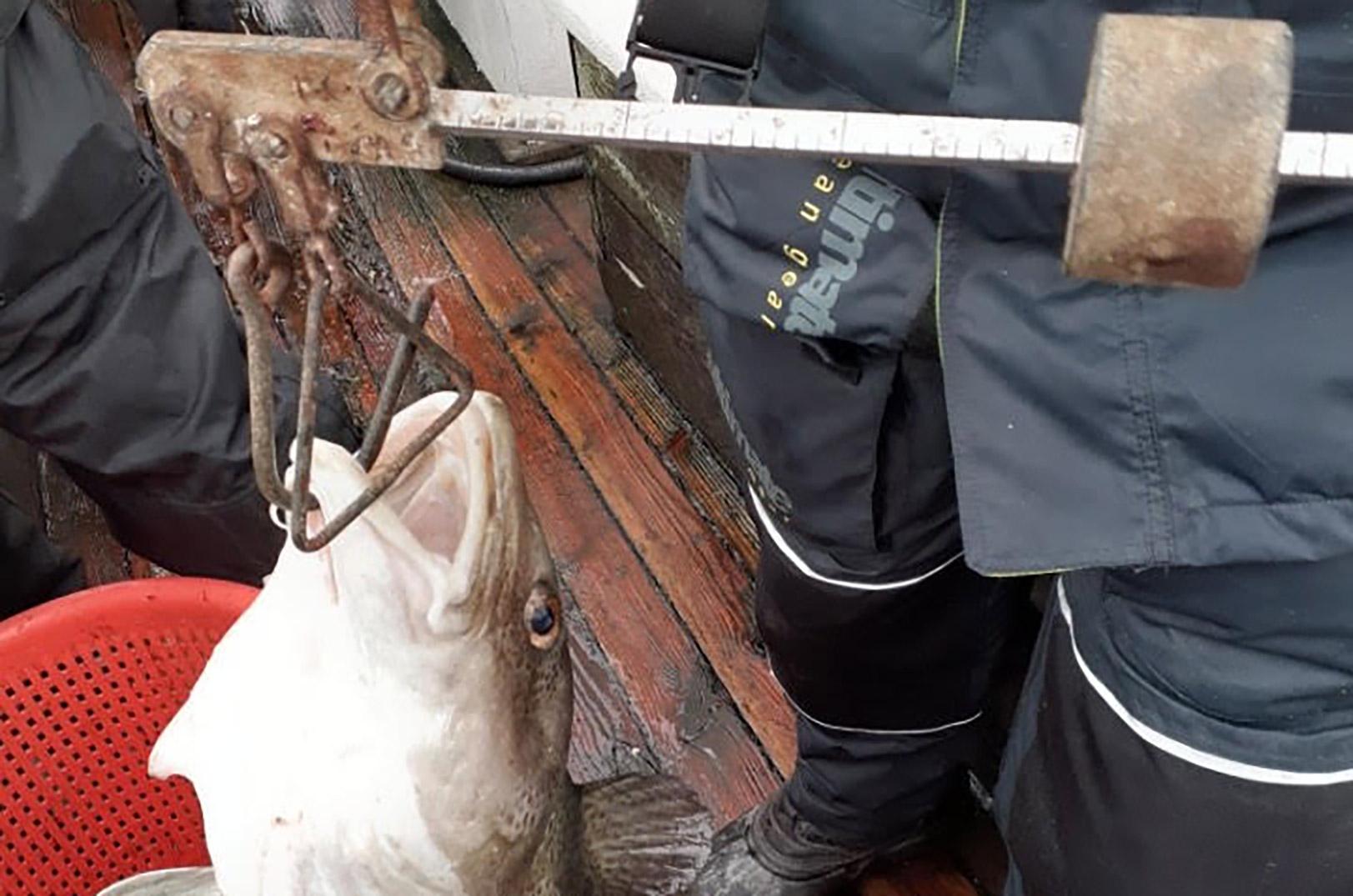 13,0 kilos sagde bismeren ombord på Neptun i Langelandsbæltet.