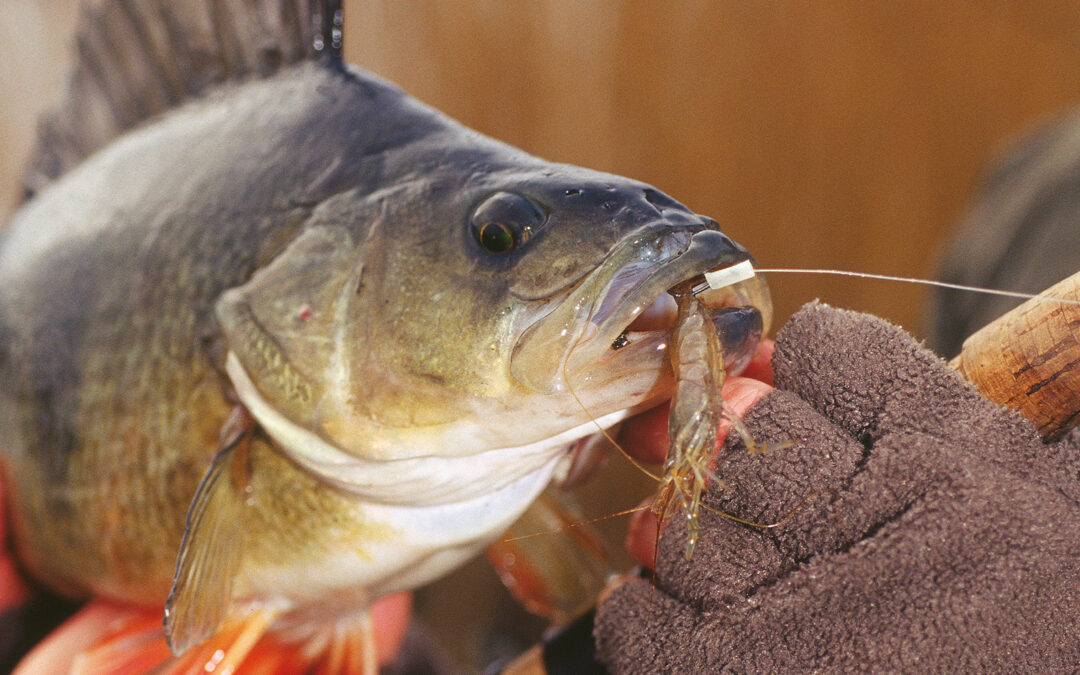Kotrollen indenfor det rekreative fiskeri har været markant dalende i2020