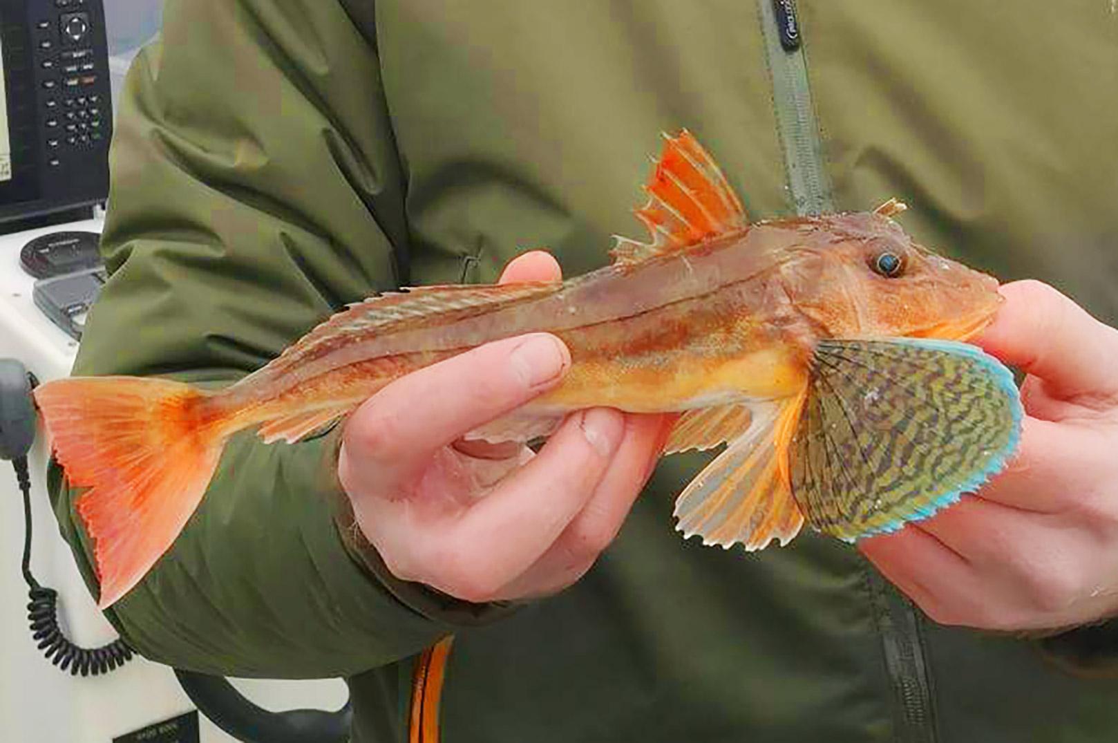 Dagens smukkeste fangst var nok denne skønne knurhane.