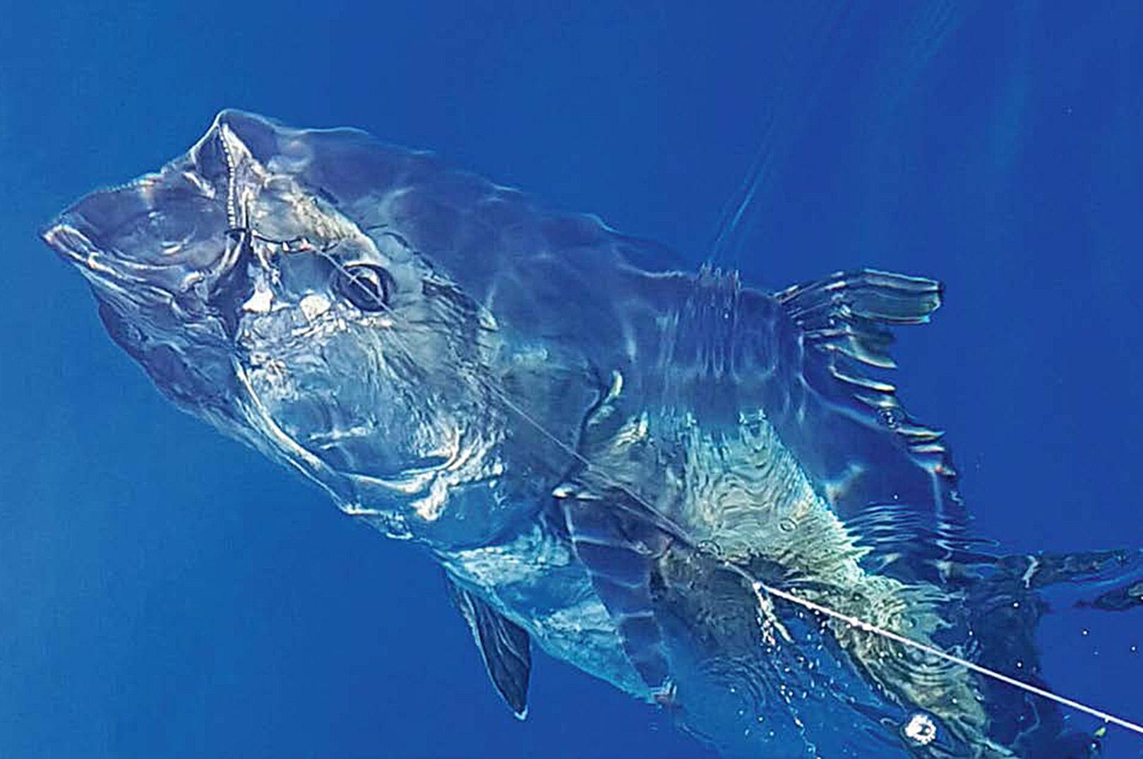 Vander er krystal klart, så man kan se hver en detalje på fisken, allerede mens den er et godt stykke ned i vandet.