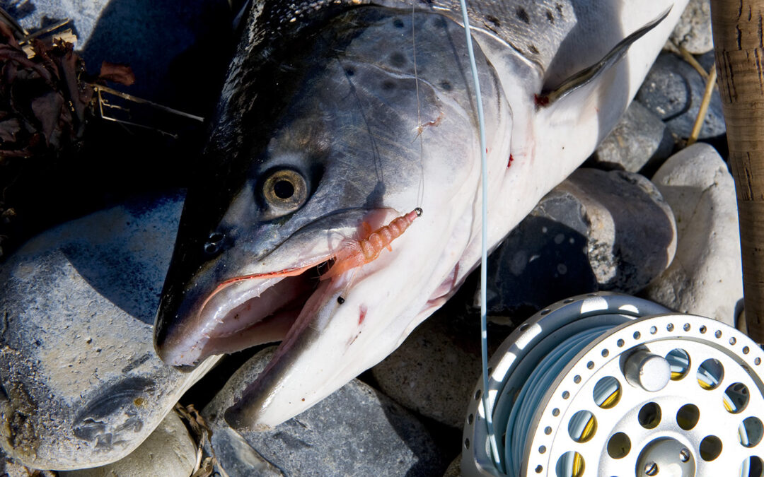 Claus Eriksens Pattegrisen er nok en af de mest kendte rejefluer, der er almindeligt kendt til kystfluefiskieri efter havørred.