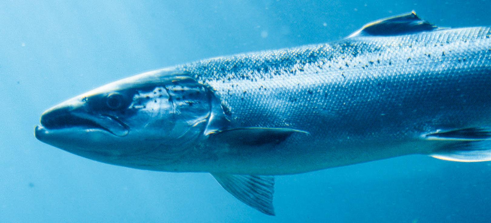 Laks på vandring i havet. Her alene, men de svømmer oftest i stimer for at spare energi på den lange rejse mellem elve og opvækstområderne i Nordatlanten.