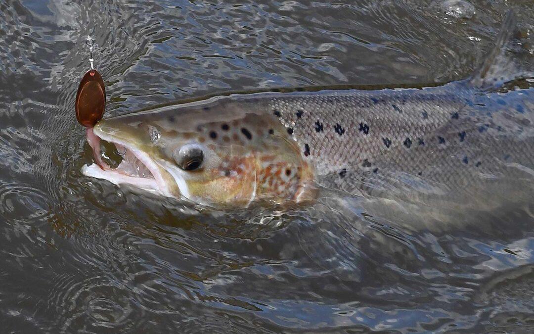 DTU Aqua indleder samarbejde med laksesammenslutninger om indrapportering af fisk