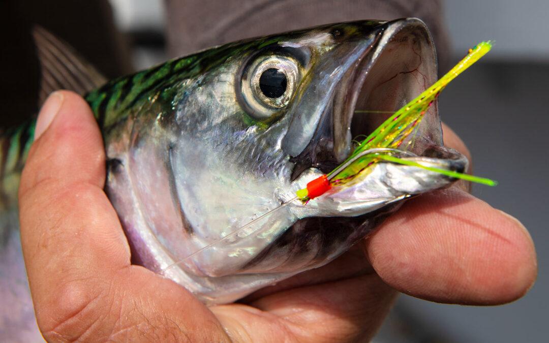 Makrel i Øresund