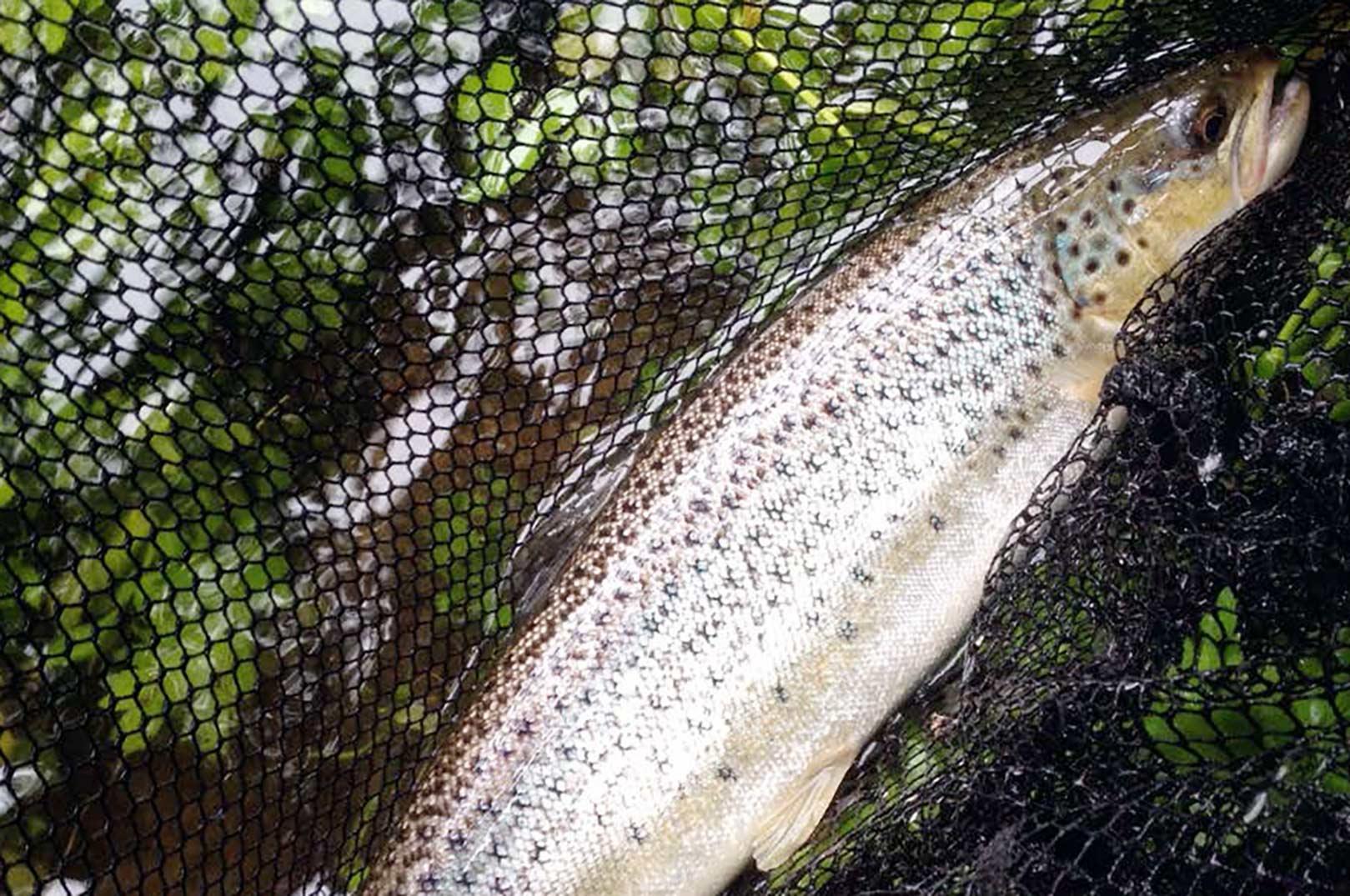 Denne fisk hamrer til spinneren efter ca. 5-10 ihærdige kast i et af åens mange lovende høller.
