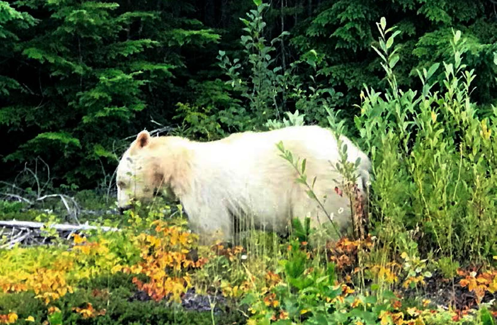 Kermode bjørn er en underart af brund bjærn, som er særlig talrig på øerne i British Columbia. Her er den i fuld færd med at æde blåbær.