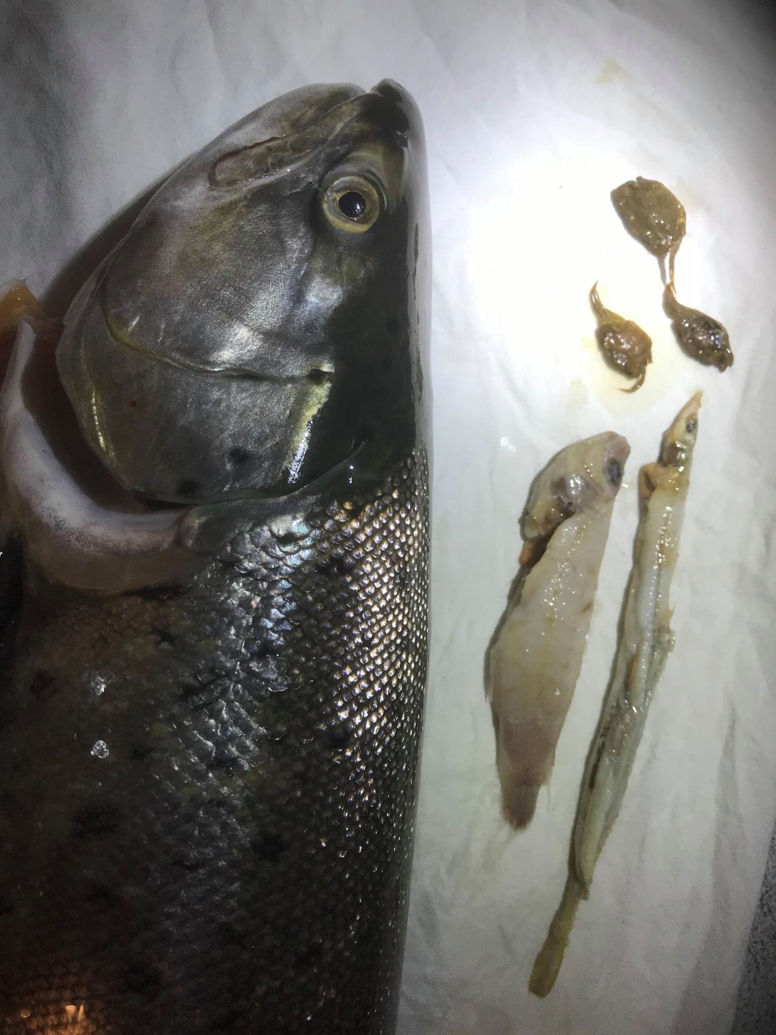 Havørredens maveindholdsignlerede tydeligt, at diæten er skiftet til småfisk.
