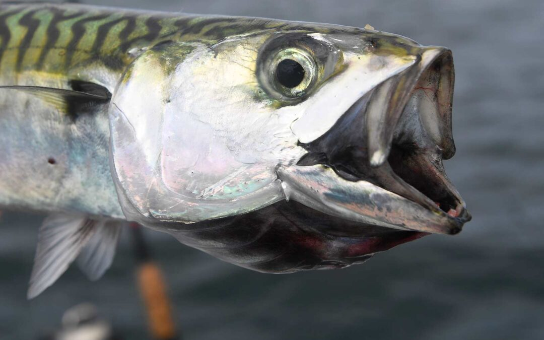 Så er makrellerne ved at være ankommet i pæne mængder- bla ved Munkholmbroen over den inderste del af Isefjorden.