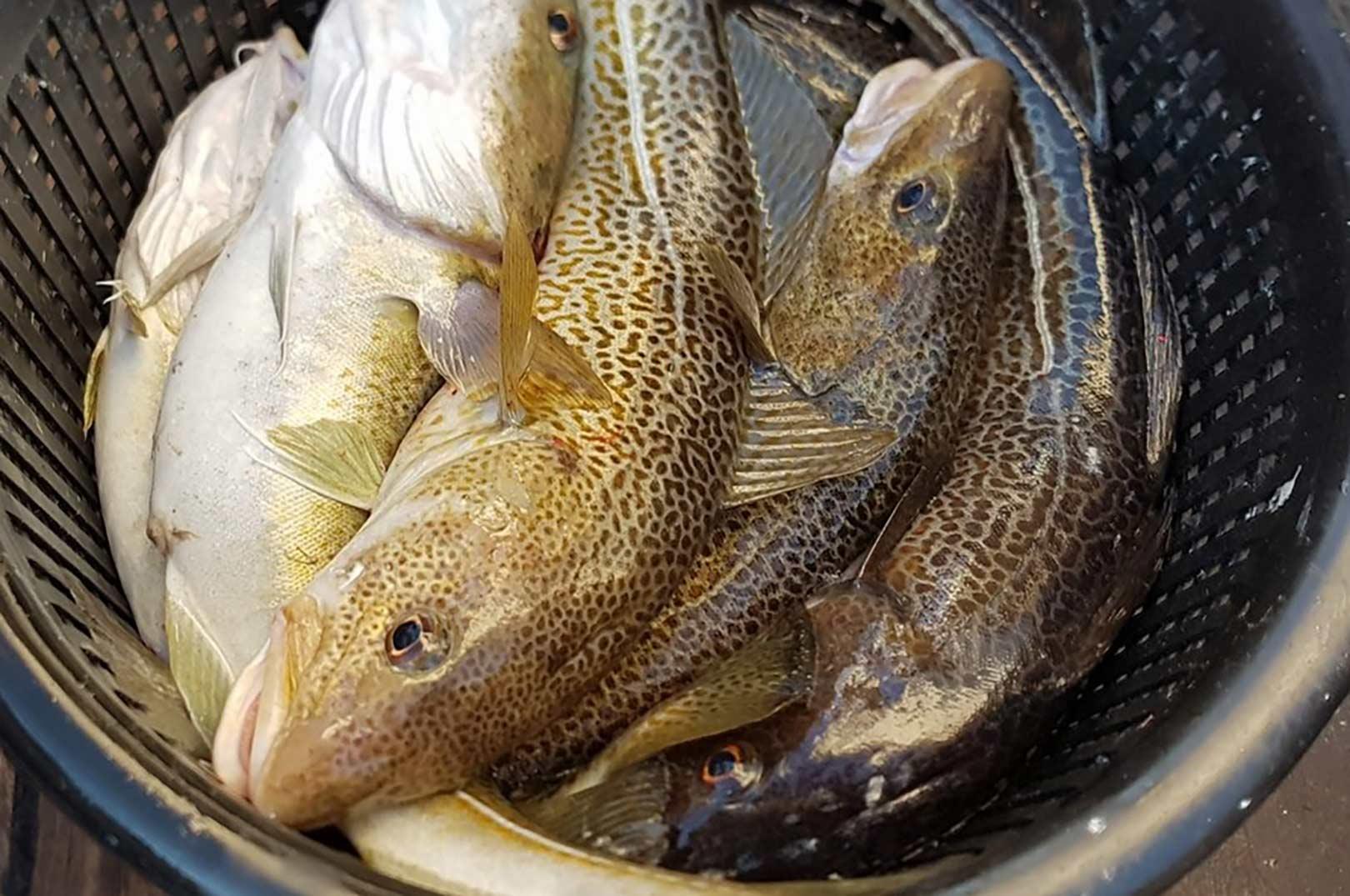 Der er ofte fyldte torskekurve på aftenturene på Øresund med Sport Dres.