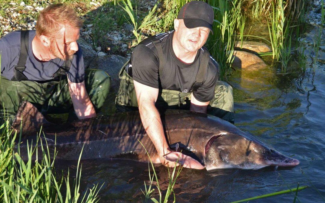 Så er der kommet endnu en sværvægtsbeboer i Simons Størsø. Belugaen vejer 68 kilo.