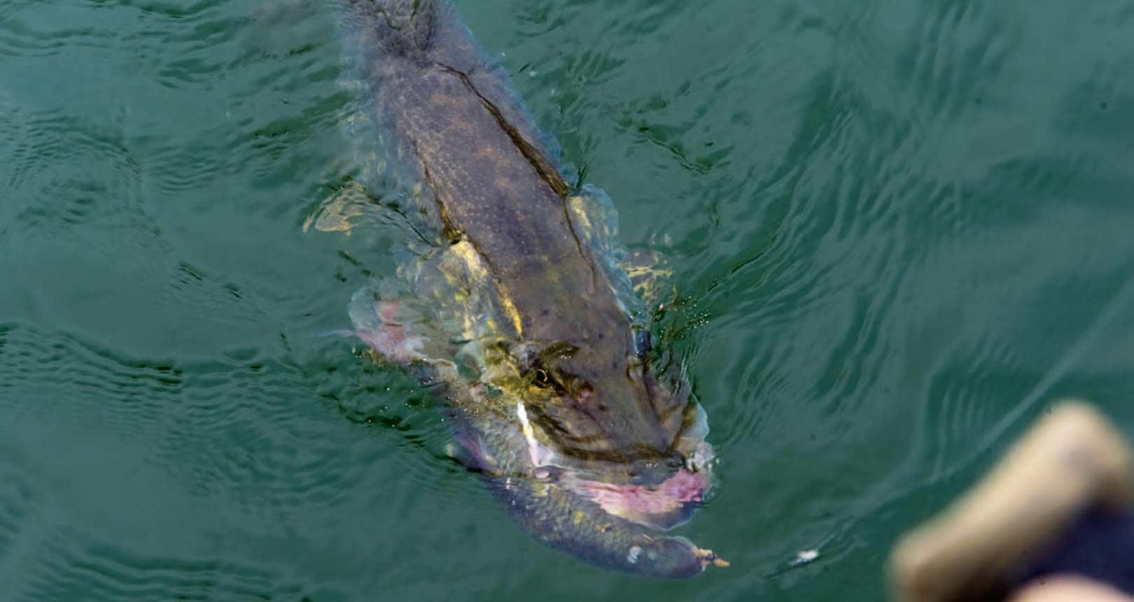 Denne flotte gedde faldt for flådfisket levende agn - en af de suverænt mest effektive metoder især i koldt vand.