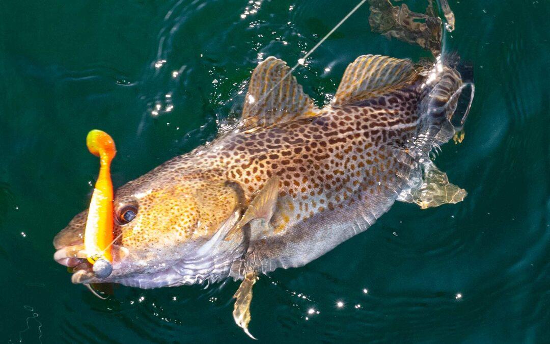 En ny model der bedre kan beskriver lystfiskernes fangster af torsker er nu på vej fra tyske forskere.