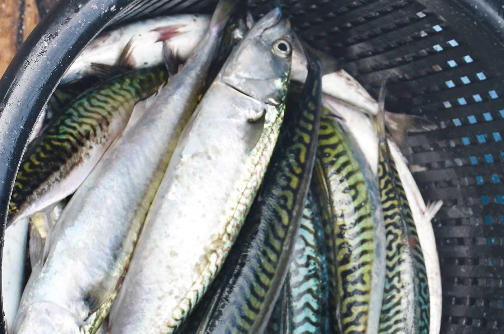 Med en god kurvfuld makrel sikkert på dækket er der masser af god mad til grillen - og måske et par ekstra geddeagn til vinterens fiskeri med død agn.