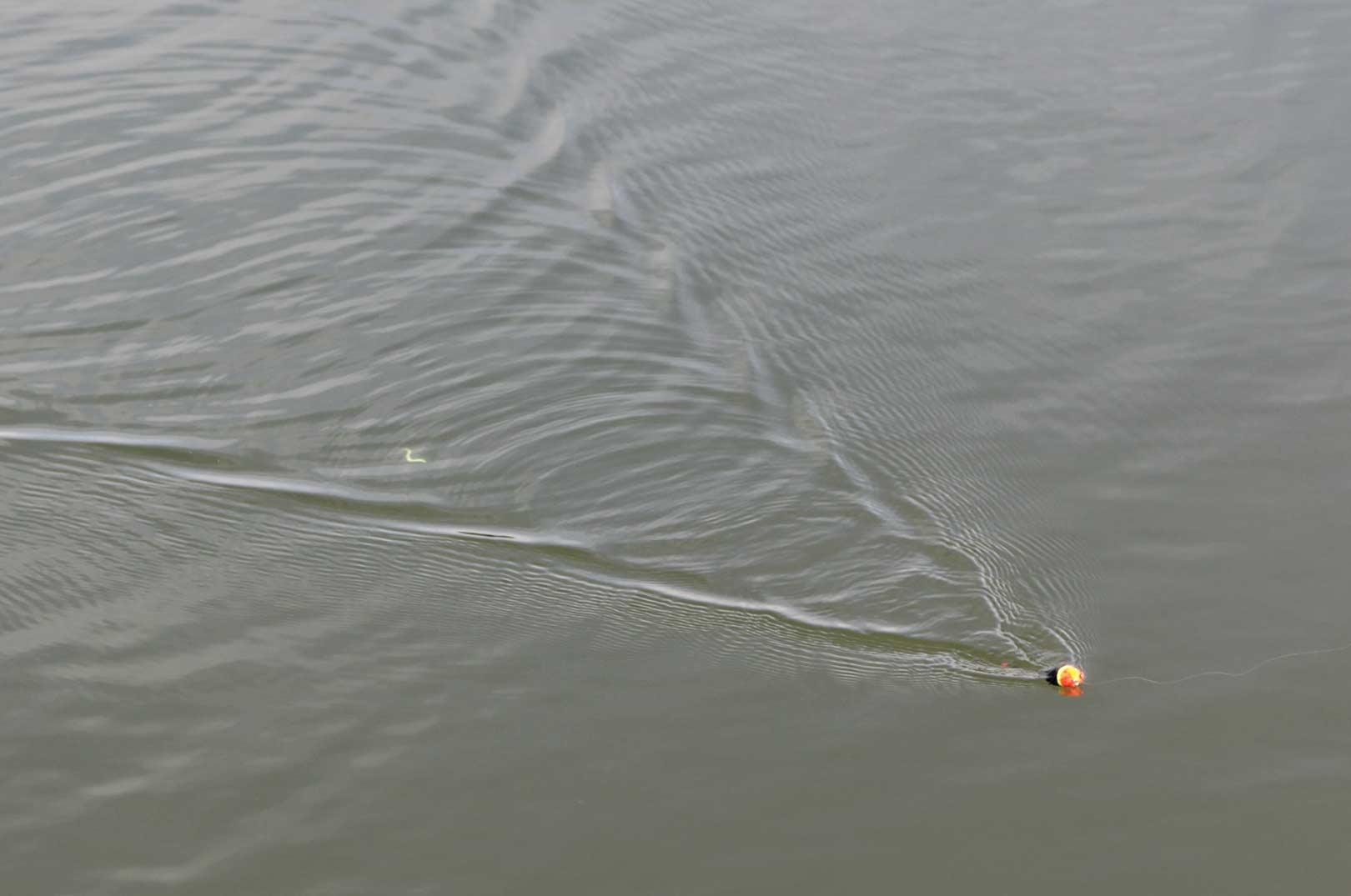 Med et Ultrasonic Tremarel - La Rattle Float kan man trigge flere af ørredernes sanser. Ved at vippe med håndleddet under indspinning, laver flådet vibrationer (ringene man kan se på overfladen), og udsender lyd. Flåddet tiltrækker fiskene, som hugger på agnen der kommer lige bag flåddet.