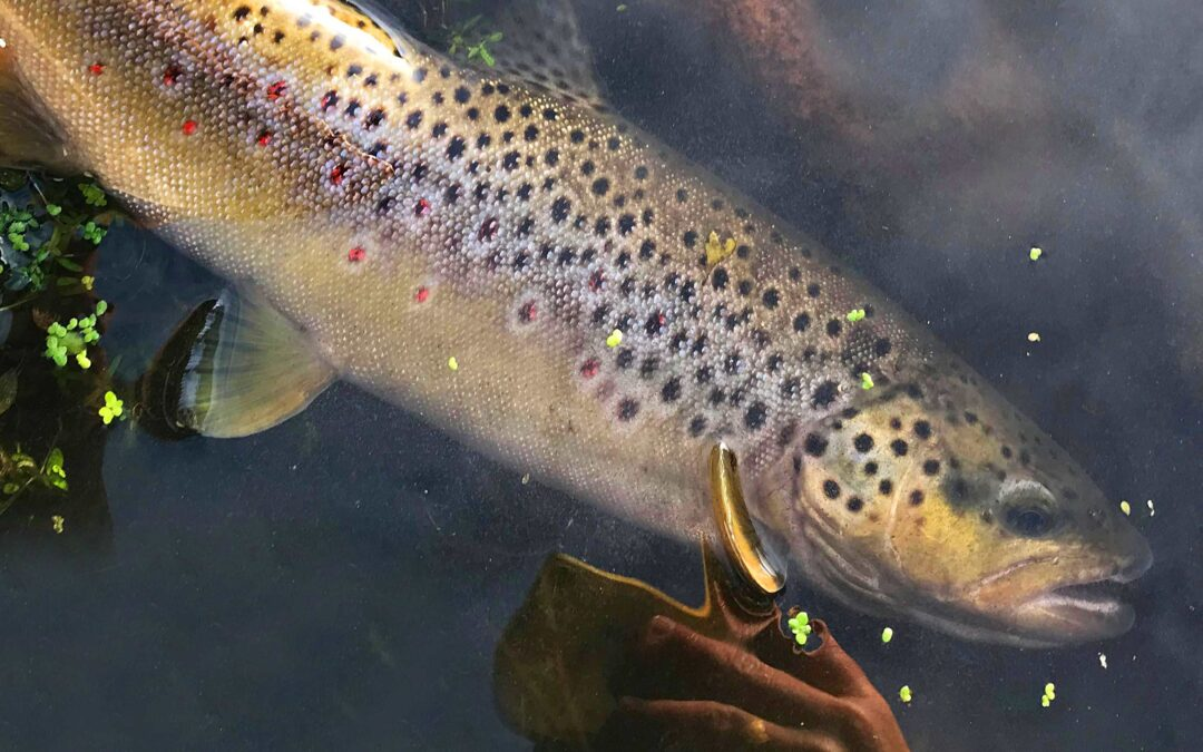 Denne fine bækørred huggede på et stykke brød fisket på overfladen af Jens Hansen.