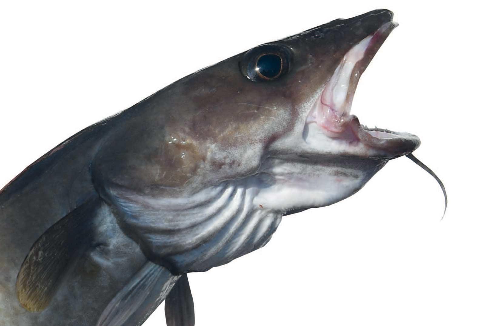 """Før eller senere får lystfiskeren en lange på krogen"""" Citat fra bogen """"Jeg er lystfisker"""" fra Politikens forlag årgang 1957. Dengang var langen sjælden, og mange lystfiskere kendte slet ikke fiskearten med torskehovedet og den lange krop."""