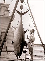Zane Grey med sin største tun fra Nova Scotia i 1924. Den blåfinnede tun, som dengang var derdensrekord - vejede 758 lbs