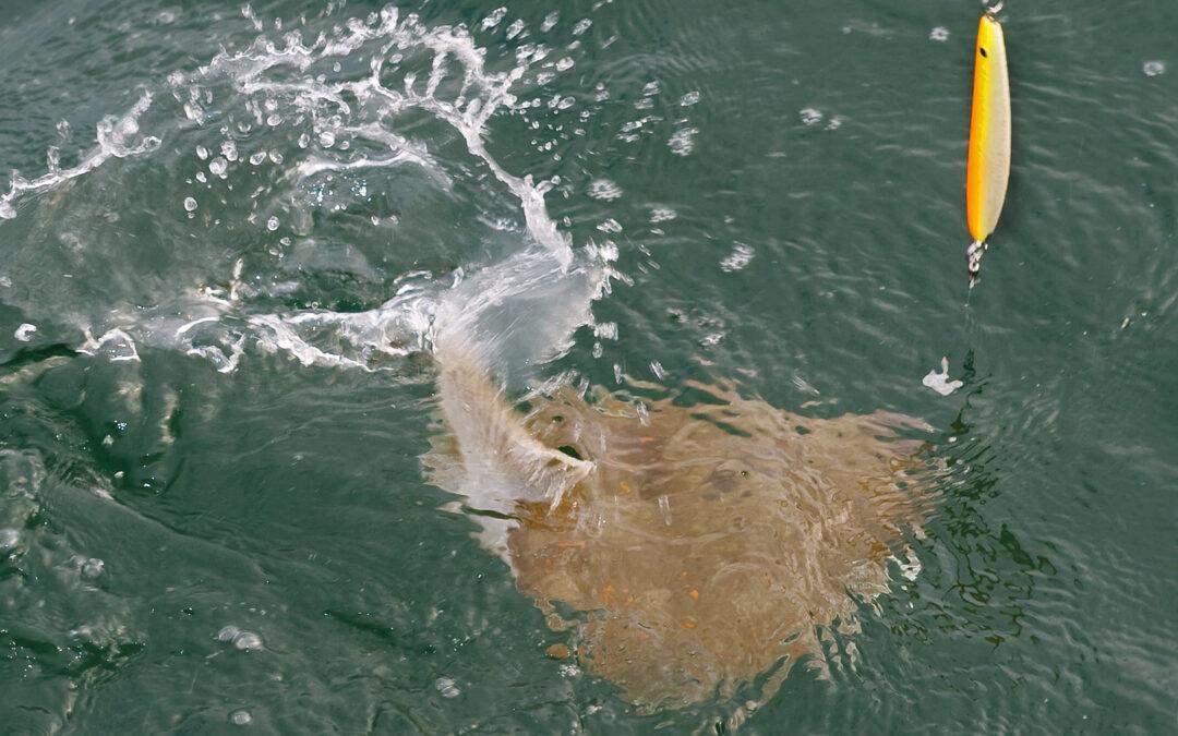 Lige nu er der godt gang i Øresunds fladfisik