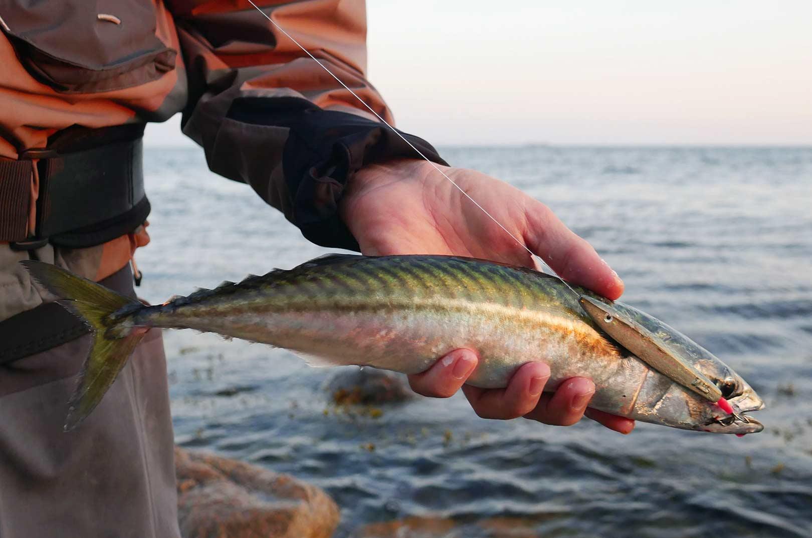 Denne makrel gav fuld kampo stil stregen i en grad, så Malthe næsten troede, at det var en havørred