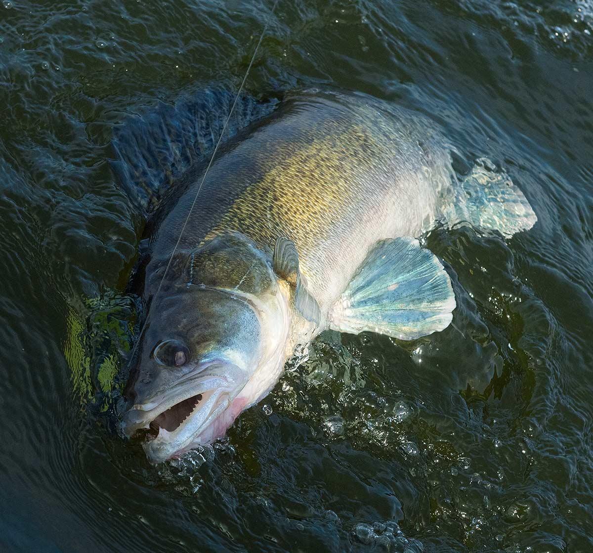 Sandarten er en hjemmehørende dansk fisk- men på trods af dette forvalter DTU Aqua den som invasiv. Heller ikke dette gør DSF noget ved, på trods af at det det er yderst let at dokumentere.