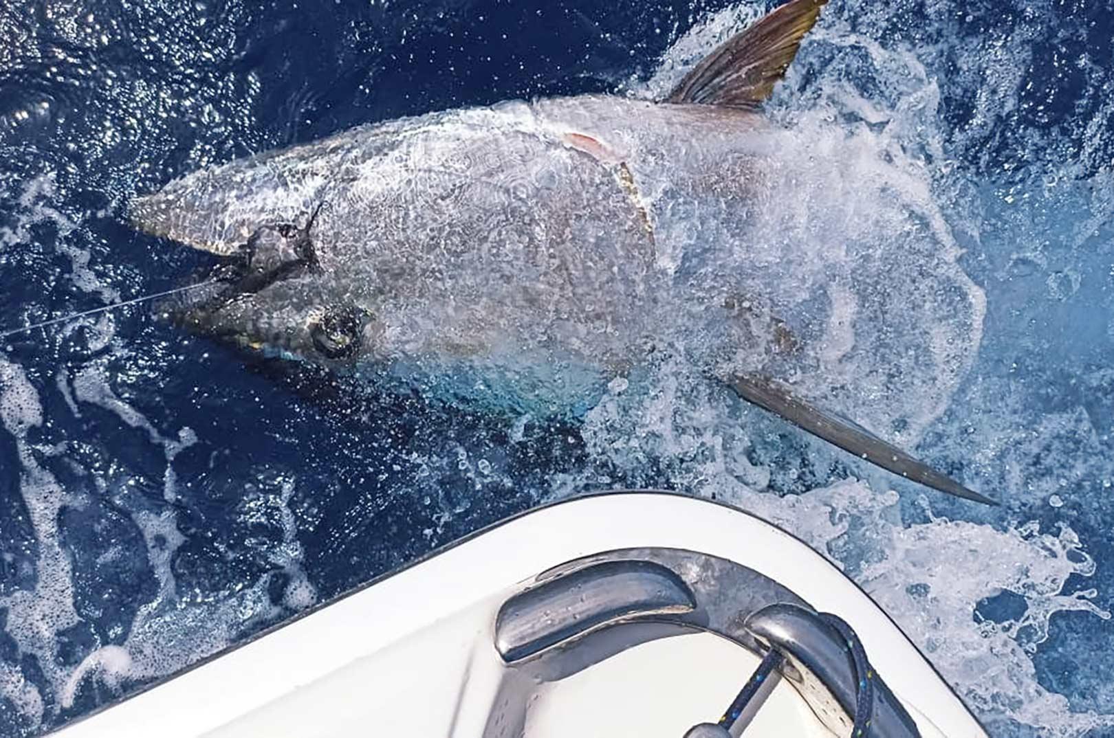 """På turen til La Gomera fik danskerne blandt andet en """"Grander"""" - dvs en fisk over 1000 lbs."""