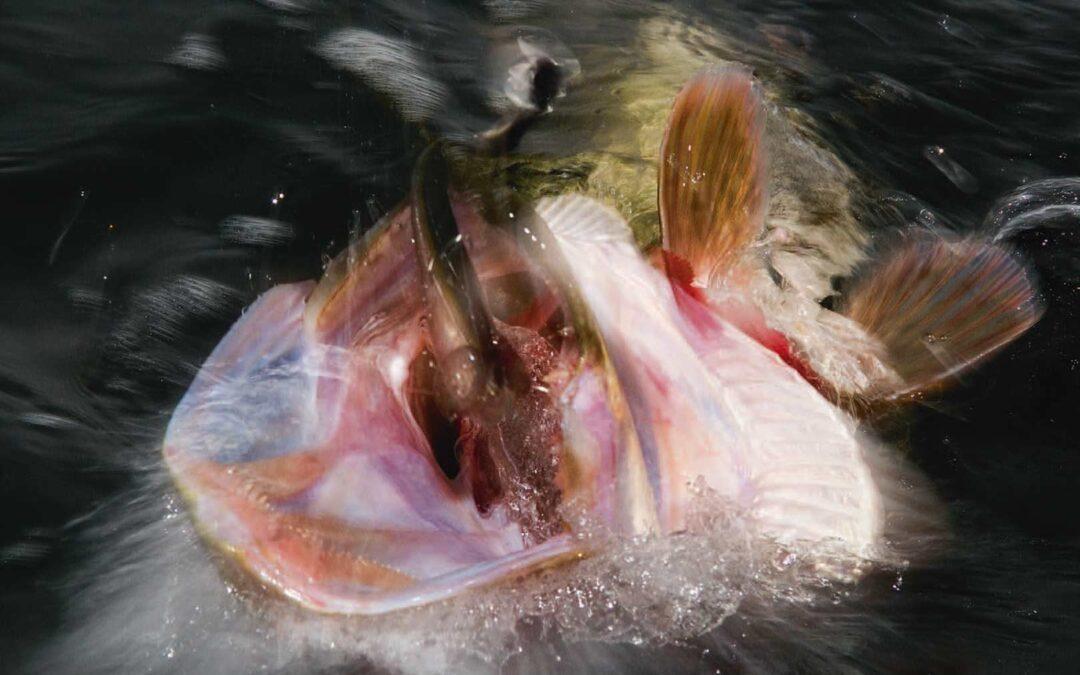 Når du fanger gedder på softbaits, er de ofte dybt kroget - og her er det en fordel med et release-takel, da det gør det lettere at afkroge fisken, uden at den tager skade.
