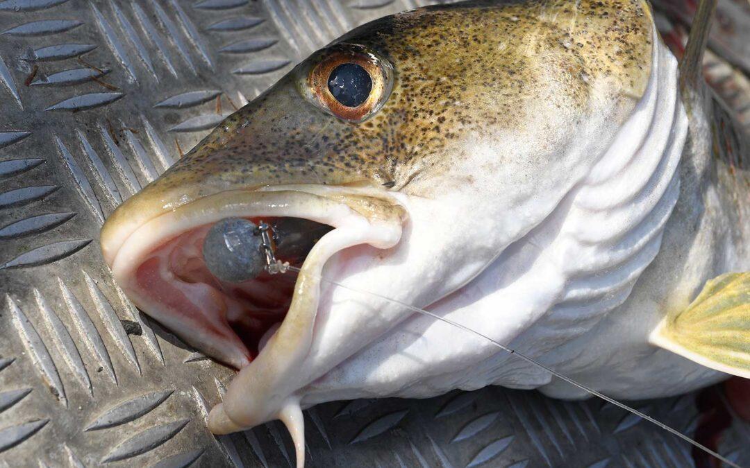Freomver vil torskene være fredet fra 15 januar til 31 marts og resten af året må lystfiskerne kun hjemtage en torsk pr mand.