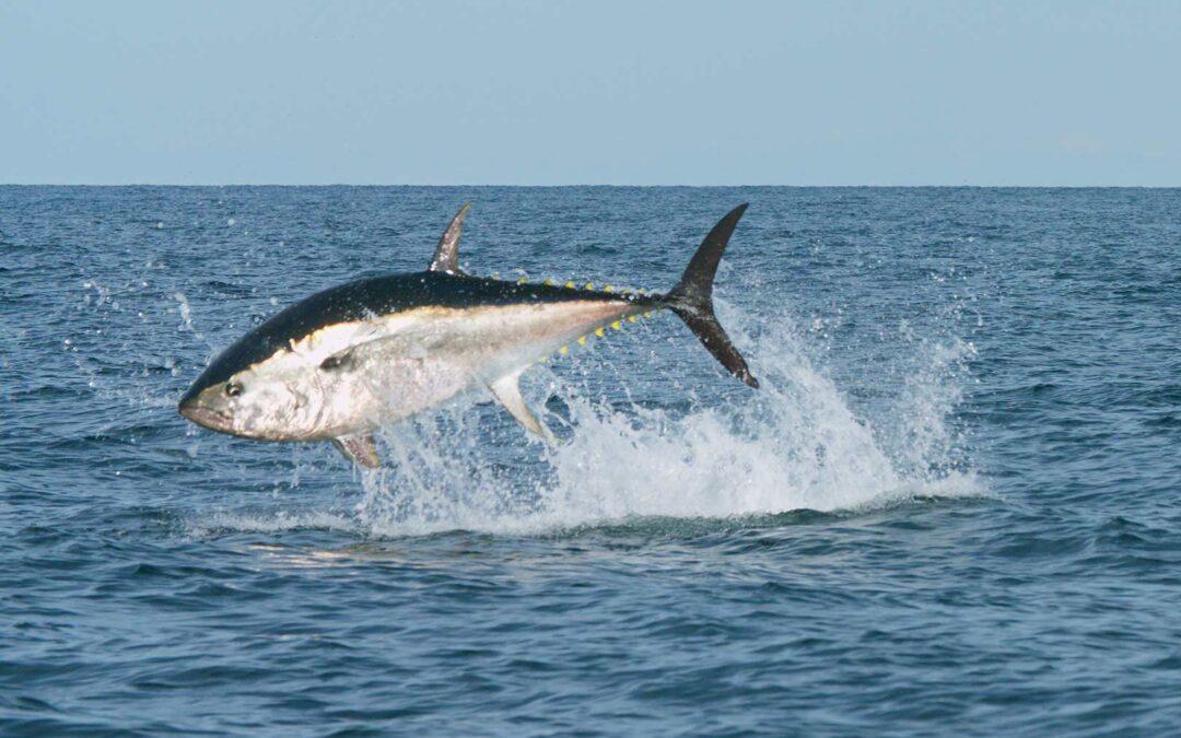 I del 3 af Fiskarnas Rike ser Martin Falklind nærmere på havets unikke ressourcer - balndt andet den blåfinnede tun